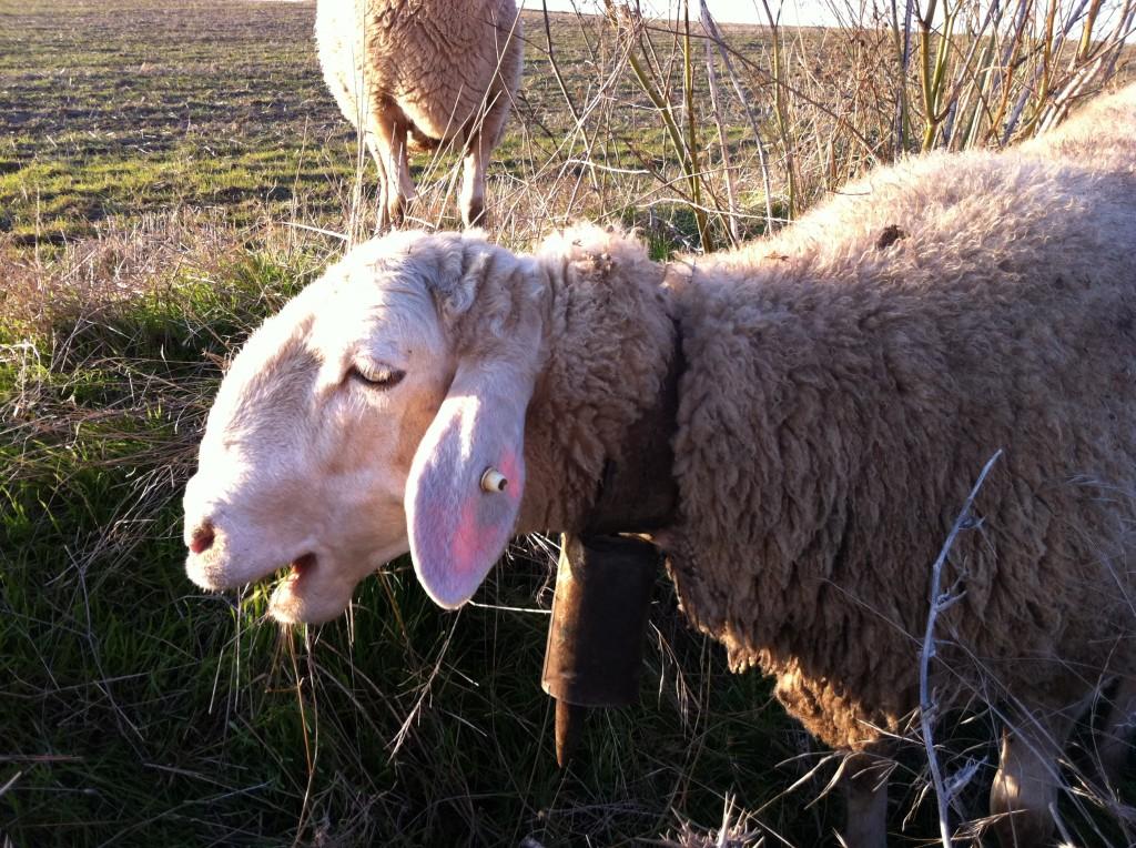 oveja castellana de granja cantagrullas 1024x764 Lechazos y quesos Granja Cantagrullas, estandartes de un territorio